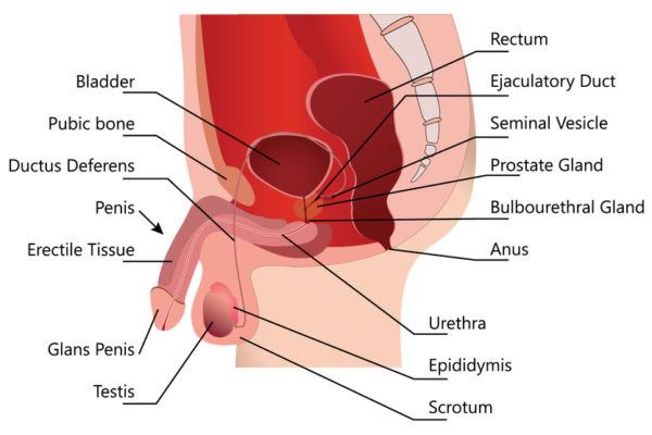 Male Reproductive System in Median Section On white Background